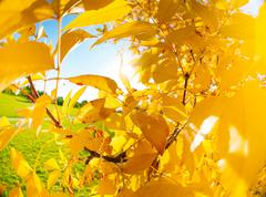 Stock Photo of Yellow autumn as tree leaves over bright sun
