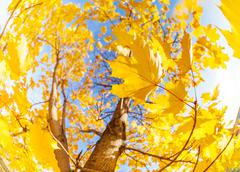 Yellow maple tree leaves composition over sky - stock photo