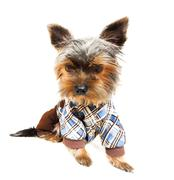 Beautiful brown cute Yorkshire Terrier in pullover - stock photo