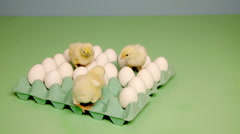 Chicks looking at eggs in carton Stock Footage