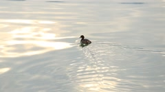 Baby mallard duck swimming around frantically in a lake. Srinagar, India Stock Footage