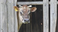 Cow in shed Stock Footage
