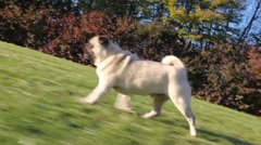 Pug dog running on grass Stock Footage