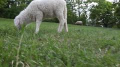 Goat kid grazing in field Stock Footage