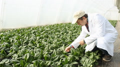 Stock Video Footage of Agronomist in a greenhouse  Spinach