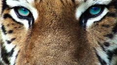 Tiger head with artificial colored eyes, progressive Stock Footage