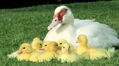 Family of ducklings sitting on grass with mother duck Stock Footage