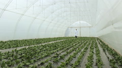 Stock Video Footage of  Spinach Agronomist in a greenhouse