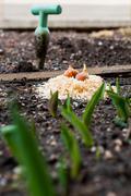 Tulip bulbs ready for planting. Stock Photos