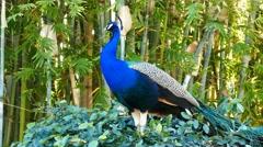 Beautiful peacock close up shot Stock Footage