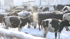 Cows on a farm in winter Stock Footage