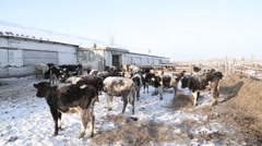 Stock Video Footage of Farm animals in winter