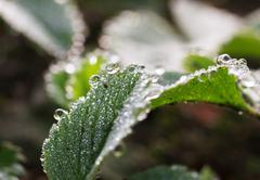 Strawberry leaves with dew drops Stock Photos