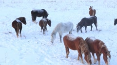 horses roaming at winter - stock footage