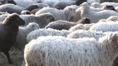 Beautiful wool animals Stock Footage