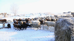 A flock of sheep on the move Stock Footage