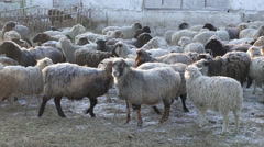 A flock of sheep in winter Stock Footage