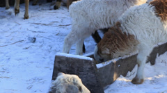 Sheep eat the food on the farm Stock Footage
