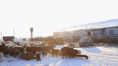 Sheep on a farm in winter Stock Footage