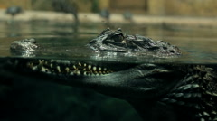 crocodile under water large reptile - stock footage