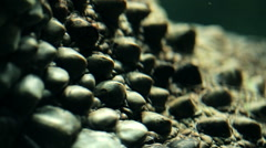 Parts of the body alligator underwater close-up. Stock Footage
