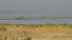 Uganda Kob in Murchison Falls National Park (Kobus kob thomasi), Uganda, Africa Stock Footage