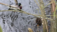 Ducks On Pond Dunking Their Heads Underwater Hand Held - stock footage