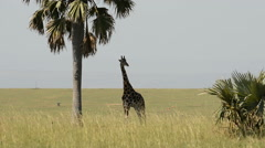 Rothschild's giraffe (Giraffa camelopardalis rothschild), Murchinson Falls Natio - stock footage