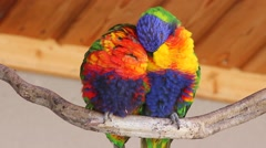 Couple of Lorikeet Sitting on A Branch Stock Footage