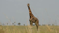 Rothschild's giraffe (Giraffa camelopardalis rothschild), Murchinson Falls Natio Stock Footage