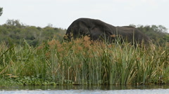 African elephant on the bank of the Nile river, Murchison Falls National Park, U Stock Footage