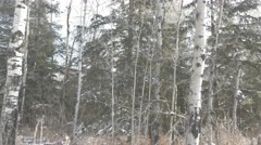 4k Light Snow Falling Trees Forest Grass Cold Snowing Winter Stock Footage