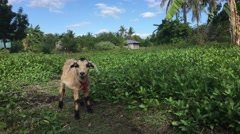 Baby goat at Balicasag Island Stock Footage