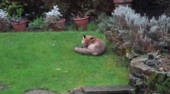 Urban fox in suburban garden preening intself Stock Footage