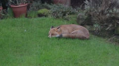 Urban fox in suburban garden, startled and looking around Stock Footage