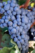 Cabernet Sauvignon grapes Stock Photos