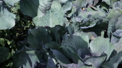 Farmer picking fresh cabbage in field Stock Footage