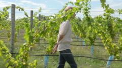 Woman walking through vineyard Stock Footage