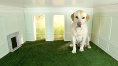 Giant labrador in a tiny room Stock Footage