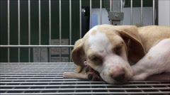 Puppy trying to fall asleep in cage at pet shelter 4k Stock Footage