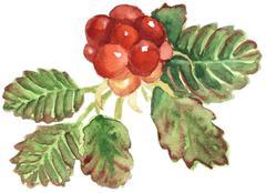 illustration of arctic bramble - stock illustration