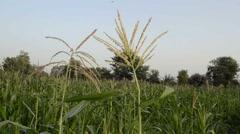 Maize tassels swinging in the wind Stock Footage