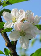 Spring, Blossom tree over blue sky, background - stock photo