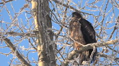 Magnificent Juvenile Bald Eagle Perched and Waiting Patiently Stock Footage
