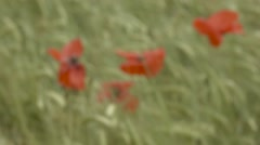 Out of focus poppies gently swaying in the wind in a field in Scotland - stock footage
