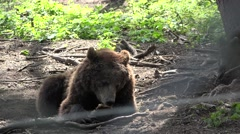 Cub baby climbing on his mother, playful baby bear Stock Footage