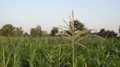 Corn tassels swinging in the wind Stock Footage