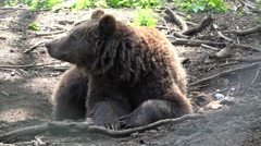 Big brown bear resting and looking on camera Stock Footage