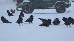 Ravens Gathering In Snow Storm Slow Stock Footage