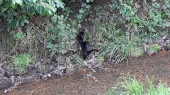 Black Cat Failing To Climb Ditch Falls Backward Lake Hand Held Stock Footage